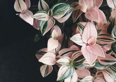 Plante intérieure Tradescantia rose tricolore